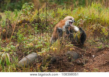 Fox Fight (vulpes Vulpes)