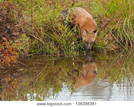 Red Fox ( Vulpes Vulpes) Looks Into Water