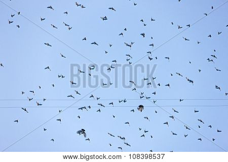 Flying Flock Of Waxwings