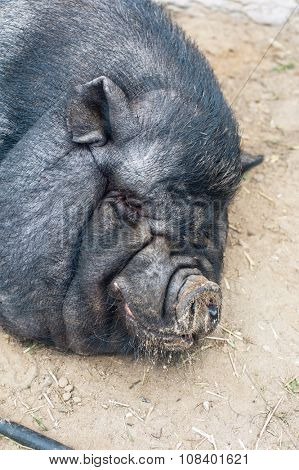 sleeping black pig closeup portrati
