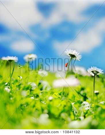 Beautiful daisy field