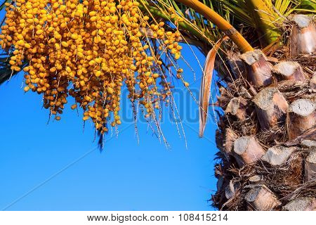 Fruits Dates And Trunk Of A Palm Tree