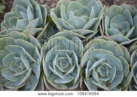 Clusters Of Sempervivum