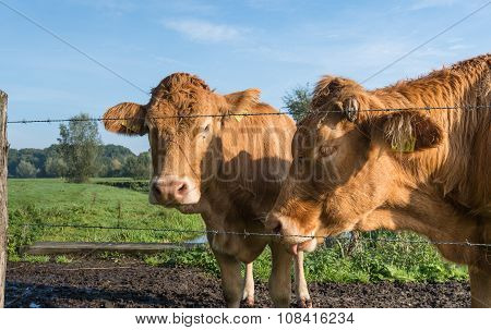 Portrait Of Two Light Brown Cows