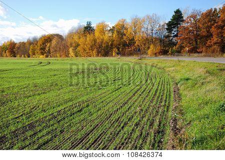 Rows In A Green Field