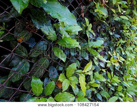 Hedge and bay leaves