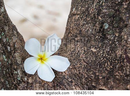 Frangipani Flower White In The Garden