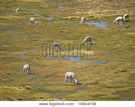 Alpacas Pasture On The Andes Grassland In Peru