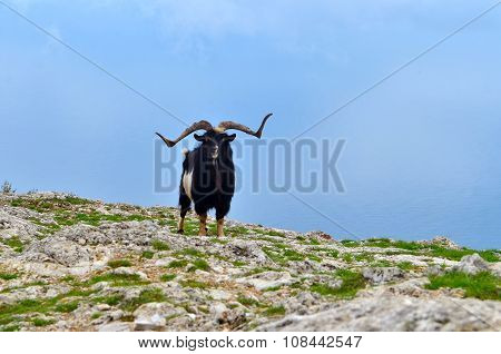A Lone Mountain Goat