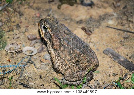 Huge Toad In The Amazon Rainforest, Manaos, Brazil