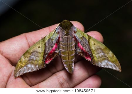 Rubricosa Green And Pink Hawk Moth