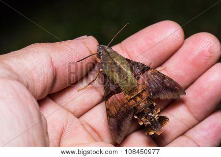 Macroglossum Hawk Moth