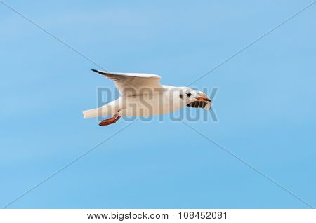 Beautiful bird, White Gull ,Seagull on flying profile.