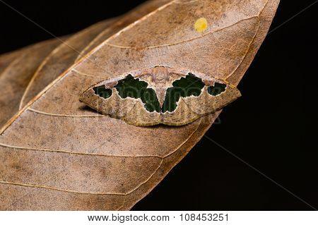 Celenna Festivaria Moth