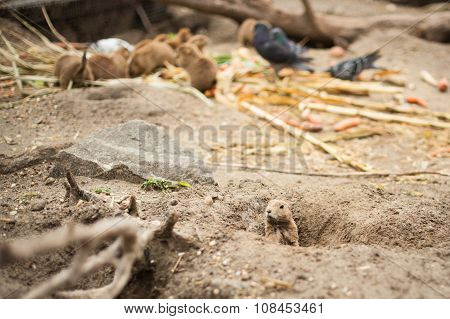 Marmot climbed out of the pit, and in the background other marmots and doves
