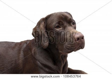 Portrait Of A Chocolate Labrador On White Background