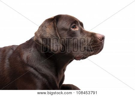 Labrador Chocolate Color On A White Background