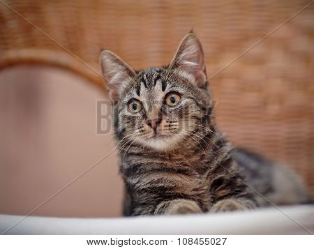 Portrait Of A Kitten Of A Striped Color On A Wicker Chair
