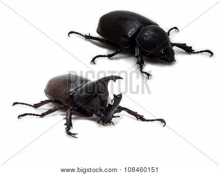 Male And Female Rhinoceros Beetle