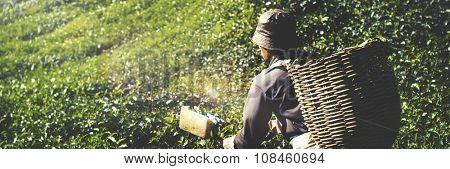 Picker Harvesting Tea Leaves Nature Green Organic Concept