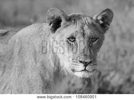 Black & White image of an adolescent Lion