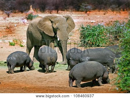 Elephant amongst the Hippo's
