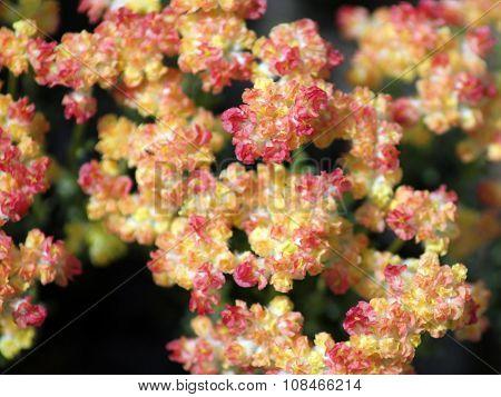 Thyme Buckwheat Flowers - Eriogonum thymoides