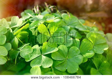 Clover - leaves of clover