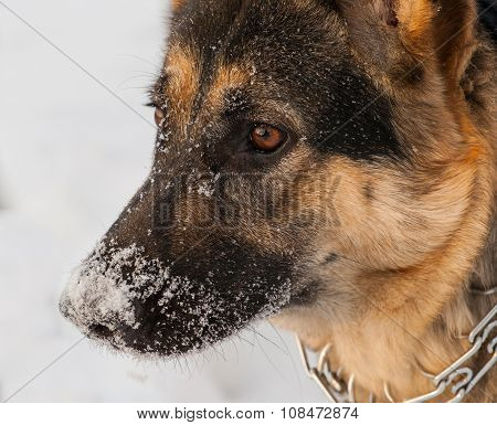 Head of German shepherd stands in the snow