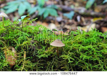 Moss background and  smallmushroom