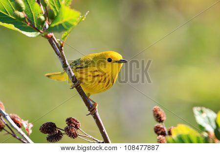 Yellow Warbler, Male.  Nova Scotia, Canada