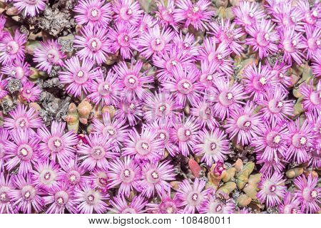 Flowers Of Ruschia Viridifolia