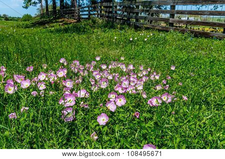 Texas Pink Primrose Wildflowers. (Oenothera speciosa) Near a Wooden Fence in Texas.