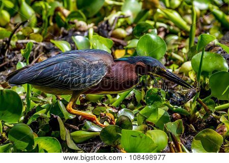 A Least Bittern (Ixobrychus exilis), a Smaller Water Wading Bird, or Heron