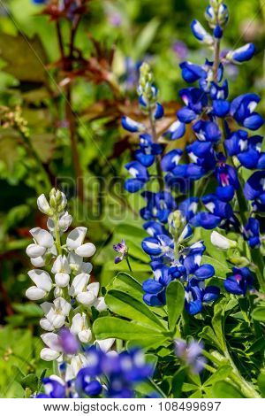 A RARE White Variety of the Texas Bluebonnet