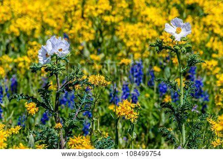 Yellow Cut Leaf Groundsel (packera Tampicana) Texas Wildflowers