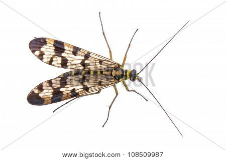 Scorpion Fly From Family Panorpidae On  White Background