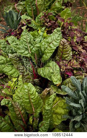 Chard And Cabbage