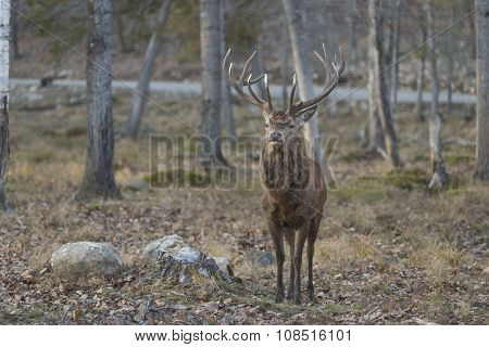 A large elk or red deer in the woods