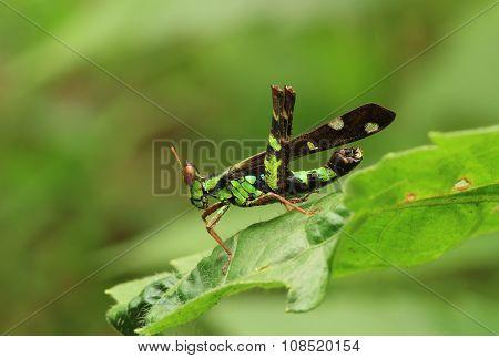 Grasshopper On Green Leaf