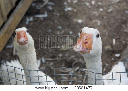 two gooses humorous