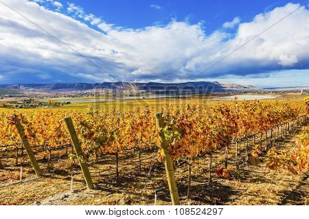 Yellow Leaves Vines Rows Grapes Fall Vineyards Red Mountain Benton City Washington