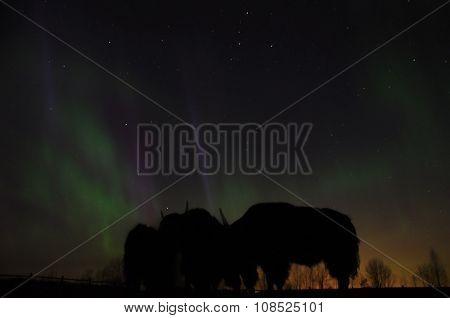 Polar Lights And Yaks On The Farm
