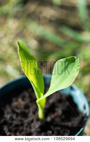 Corn seedling, closeup image with green small seed in the bowl.
