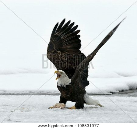 Bald Eagle  ( Haliaeetus Leucocephalus )  Landed On Snow