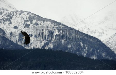 American Bald Eagle In Flight Against Alaska Mountains.