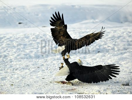 Eagles Fight . Two Bald Eagles (haliaeetus Leucocephalus Washingtoniensis )