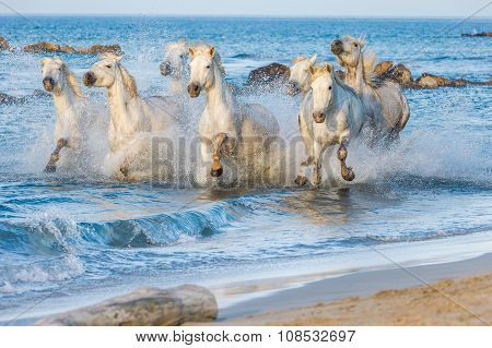 Herd Of White Horses Running And Splashing Through Water