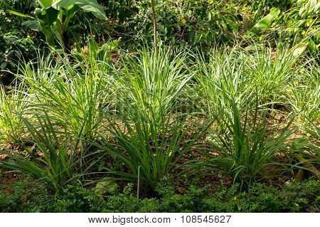Green Lemongrass In Garden