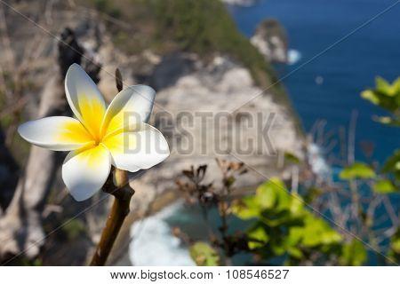 Wild Spa Flower Plumeria
